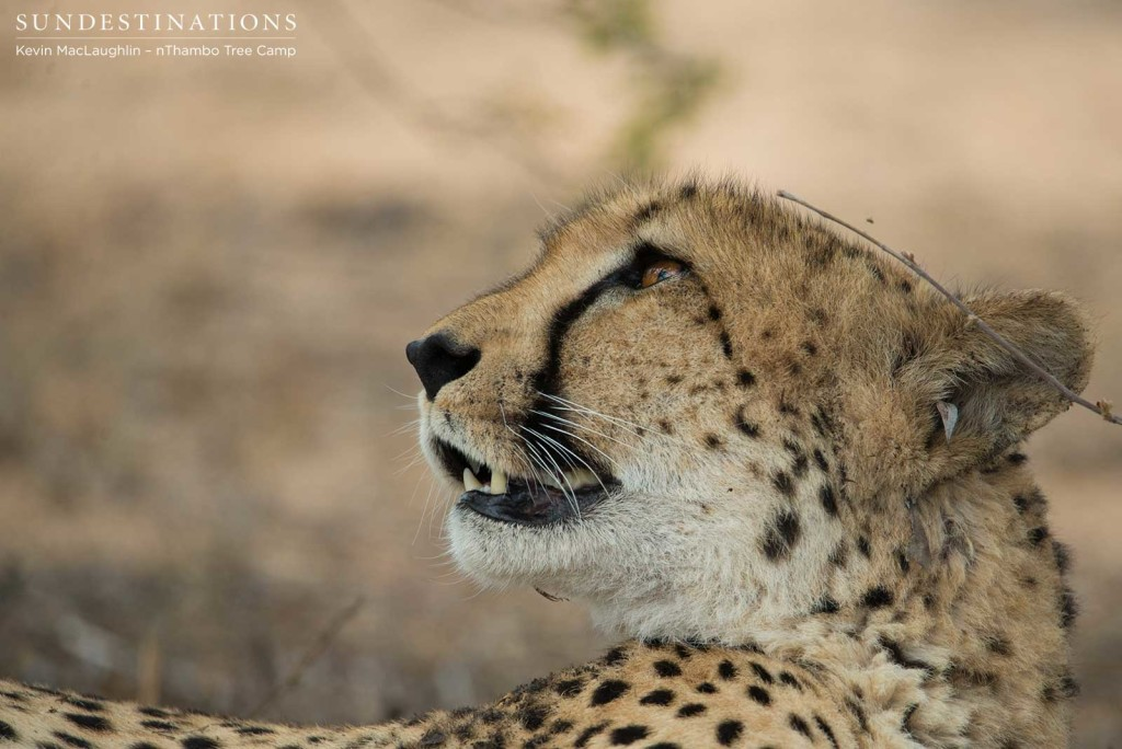 Getting acquainted with a very relaxed female cheetah