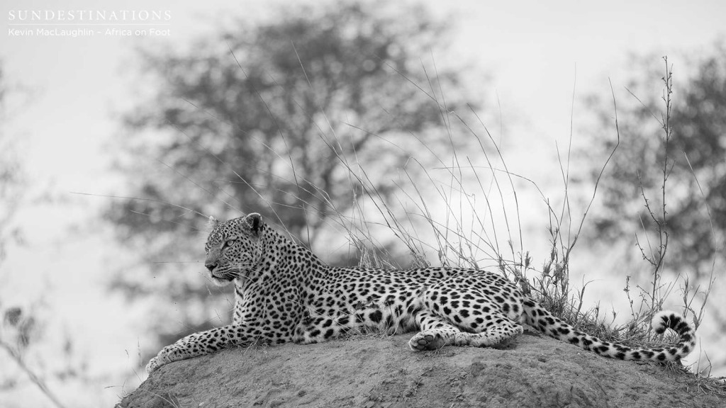 Elegant leopardess, Cleo, reclines on top of a termite mound