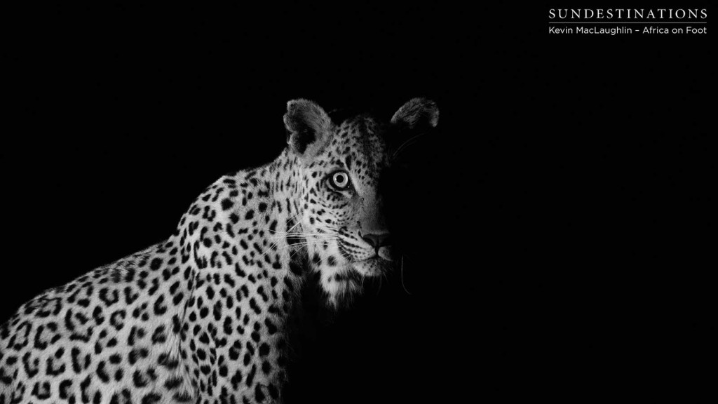 An unidentified leopard loses her kill to a hyena in the darkness