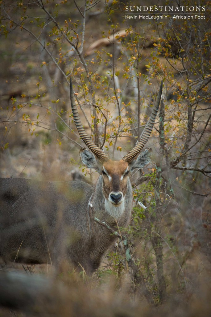 Spectscular male waterbuck blending in with the veld
