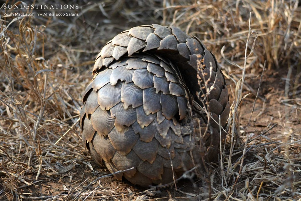 The unusual and fascinating pangolin curling up into a defensive ball