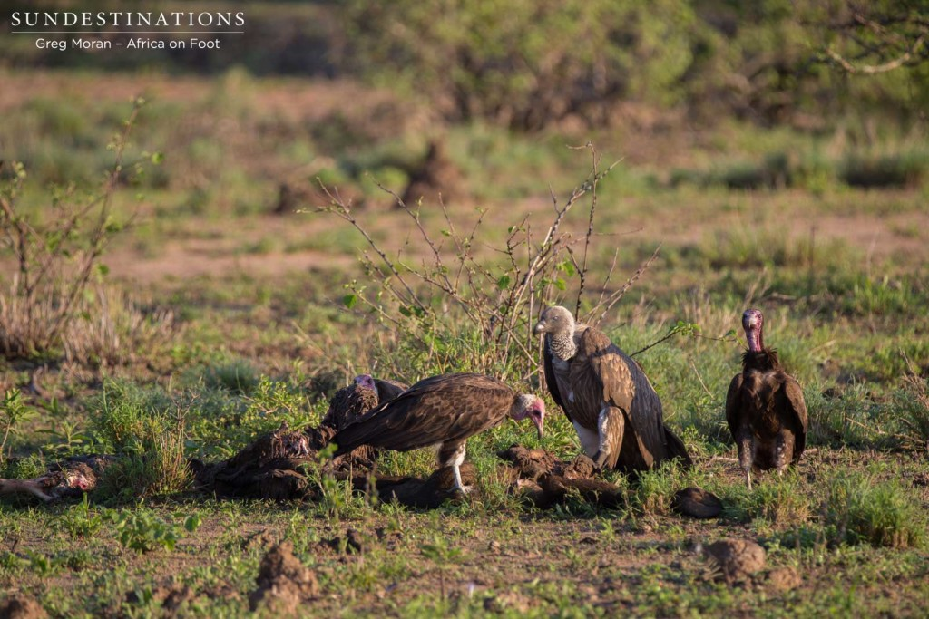White-backed and hooded vultures pick at the remains