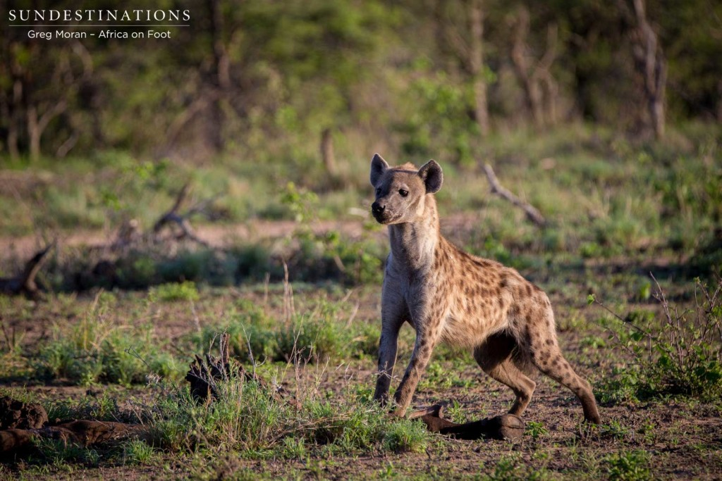 The hyena is poised, ready to chase off the vultures