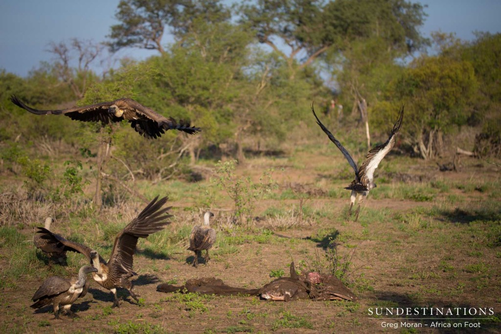 Vultures take off as hyena charges