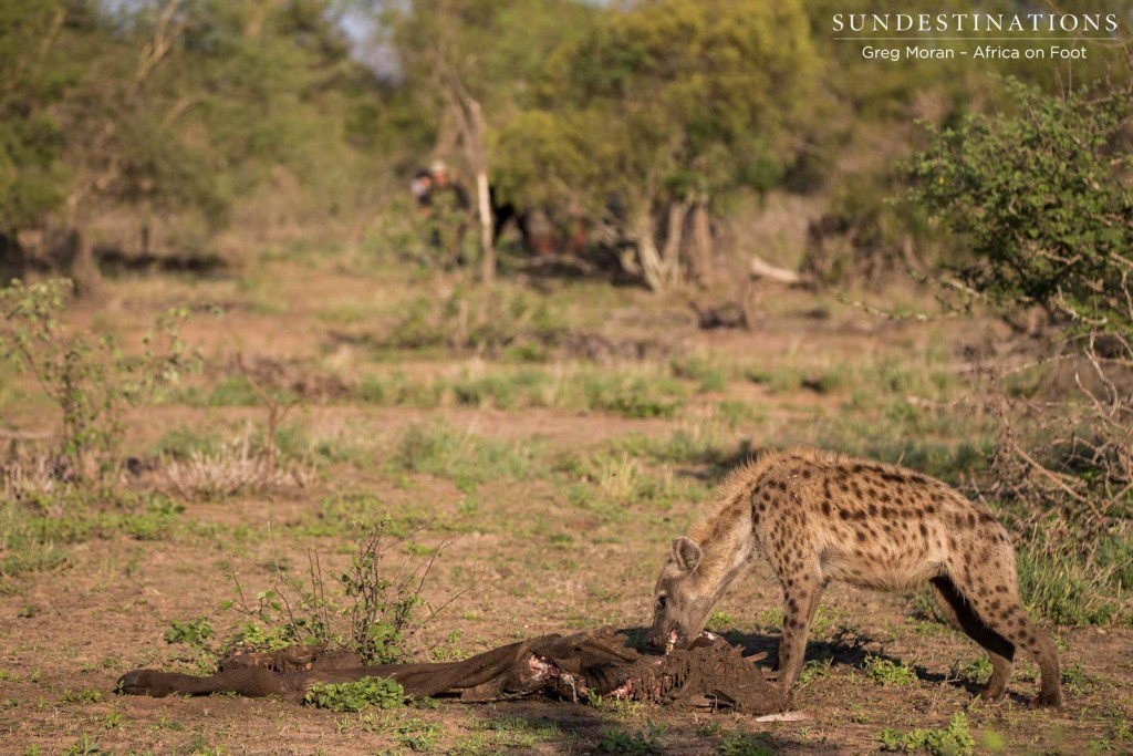 Peace, at last. Guests peer through the bush to watch the hyena feeding