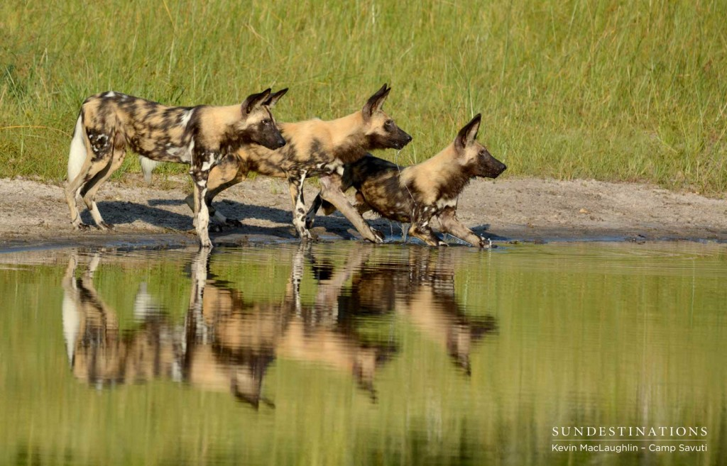 Three African wild dogs glance up at a buffalo over the flowing Savuti Channel