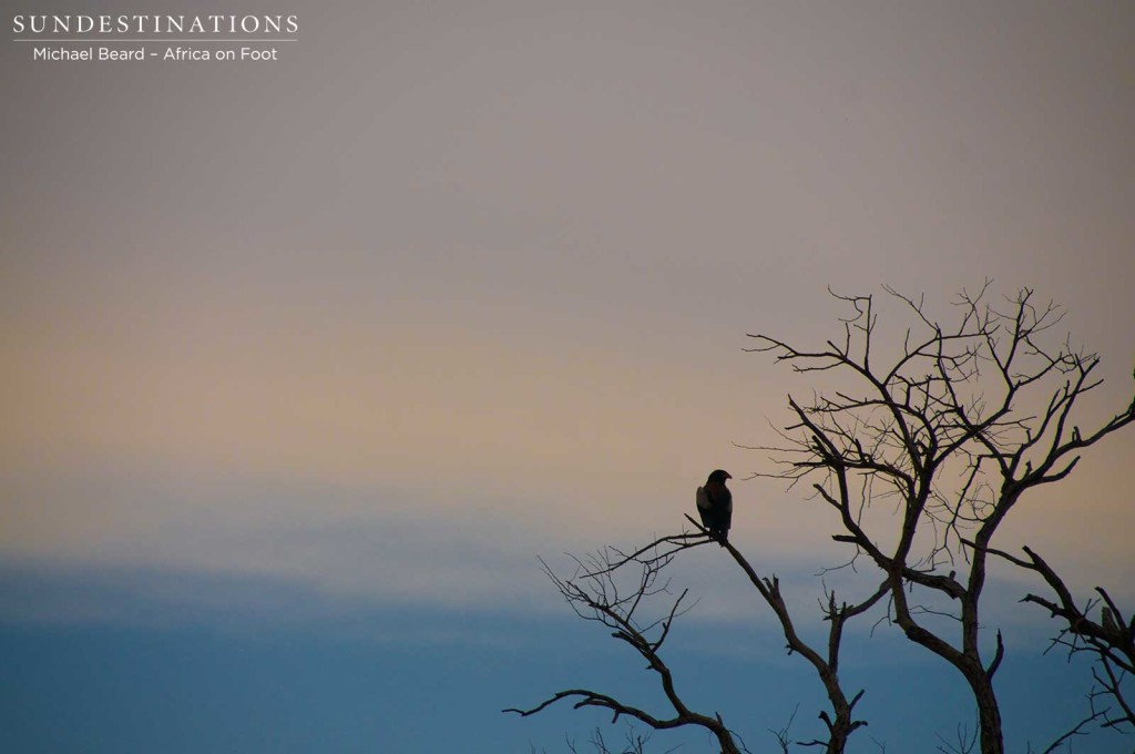A bateleur eagle adds life to a leafless tree just as dusk turns the sky a peachy pink and creates a handsome silhouette.