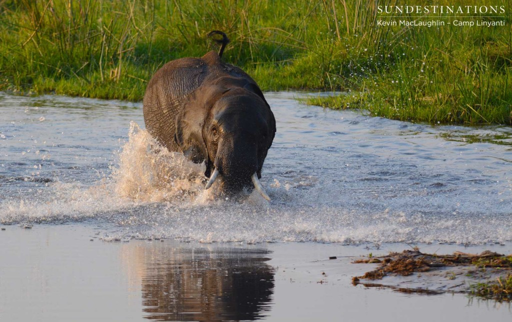 An elephant taking a dive in the swamps as an underwater ditch trips him up