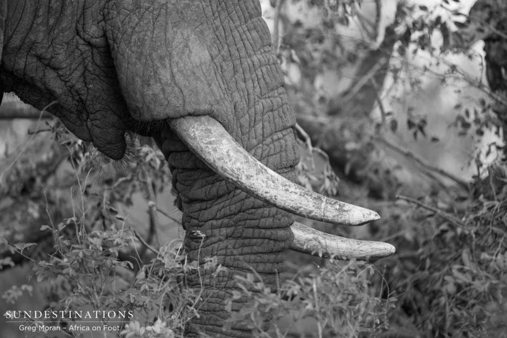 Elephants emerge out of the thicket now that there is ample water feeding the Klaserie, and this individual gave us the opportunity to analyse him in detail.