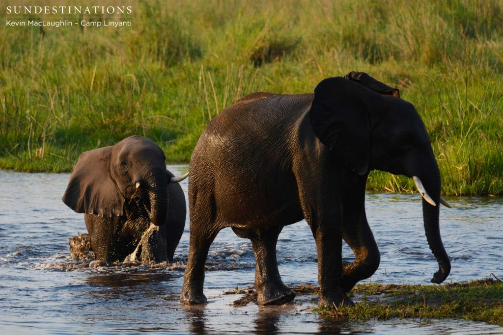 Elephants crossing the Linyanti swamps in front of Camp Linyanti