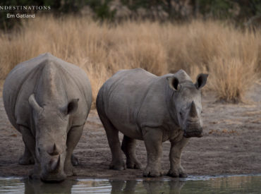 In 2012 a recorded amount of 633 rhinos were poached. Within two years, this number escalated to a staggering 1020. And these are just the official numbers recorded by the Department of Environmental affairs. There are plenty of unaccounted for rhino deaths which affect the decline of our rhino population. The increase in poaching is […]