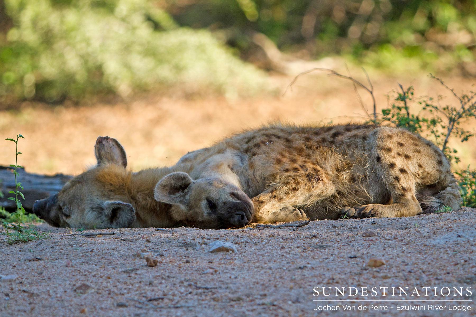 This April – When Hyenas Make a Fool of Super Predators…