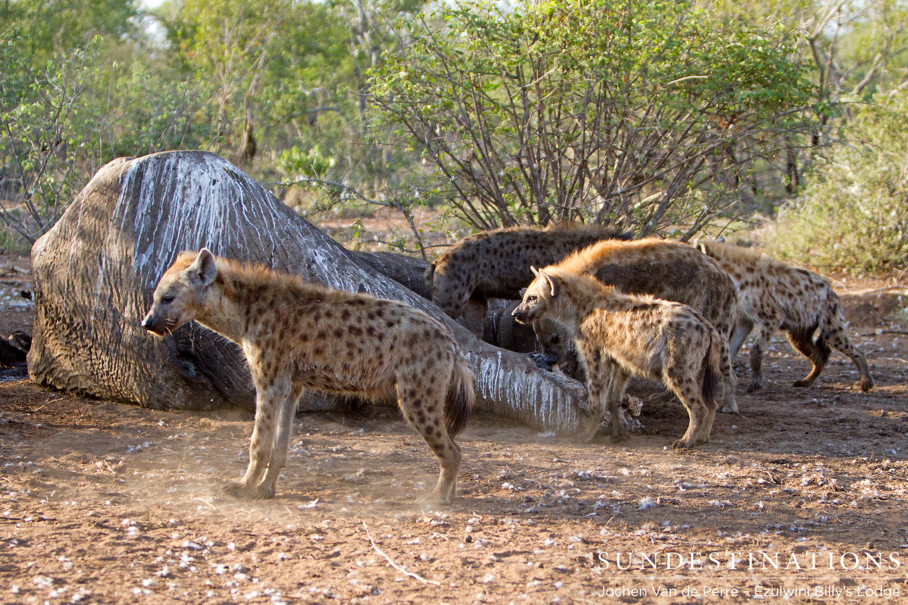 Hyenas feed on fallen giant, Shoshangane