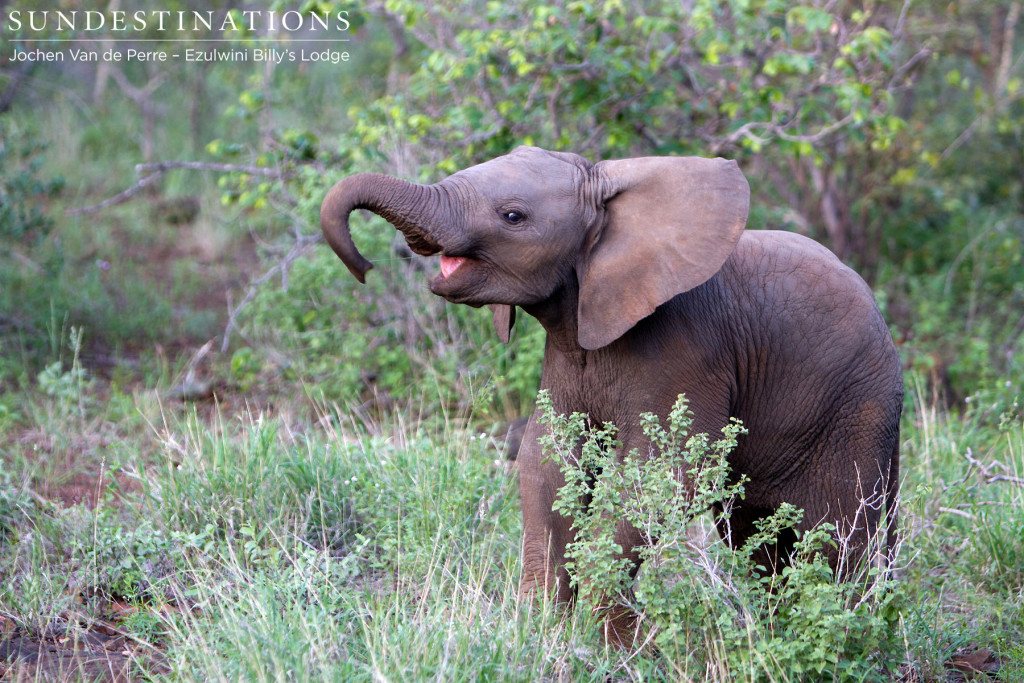 A baby elephant can't suppress its joy as it experiences the first real rains of its young life.