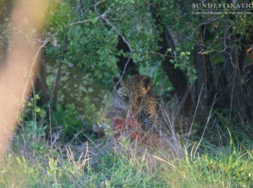 The Klaserie is a fantastic spot for leopard sightings at the moment, and it's not only adult leopards the guests at nThambo Tree Camp are seeing, but leopardcubs too! Currently, the Ross Dam female and the newly named White Rock female both have growing cubs, and just this morning, our guests got a glimpse of […]