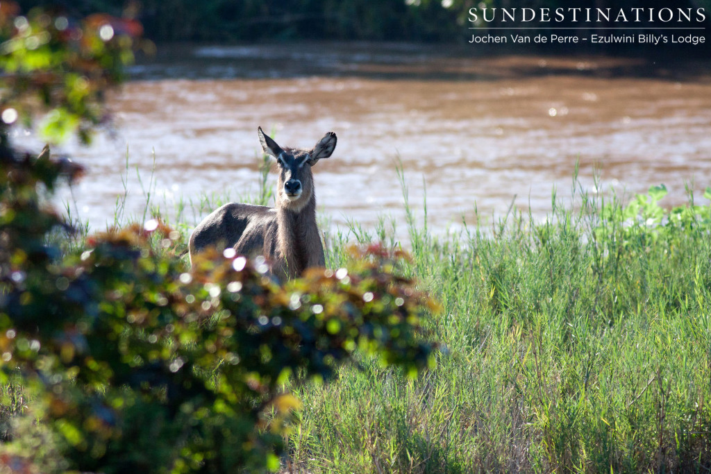A female waterbuck glances up from her feast as the Olifants River rushes powerfully behind her.
