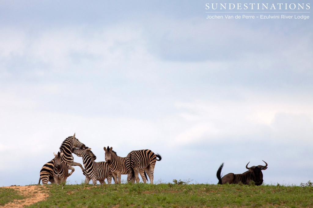 The ever sociable zebra and wildebeest are seen together 9 times out of 10. This individual looked a little like an outcast, while the zebras engaged in some rough play.