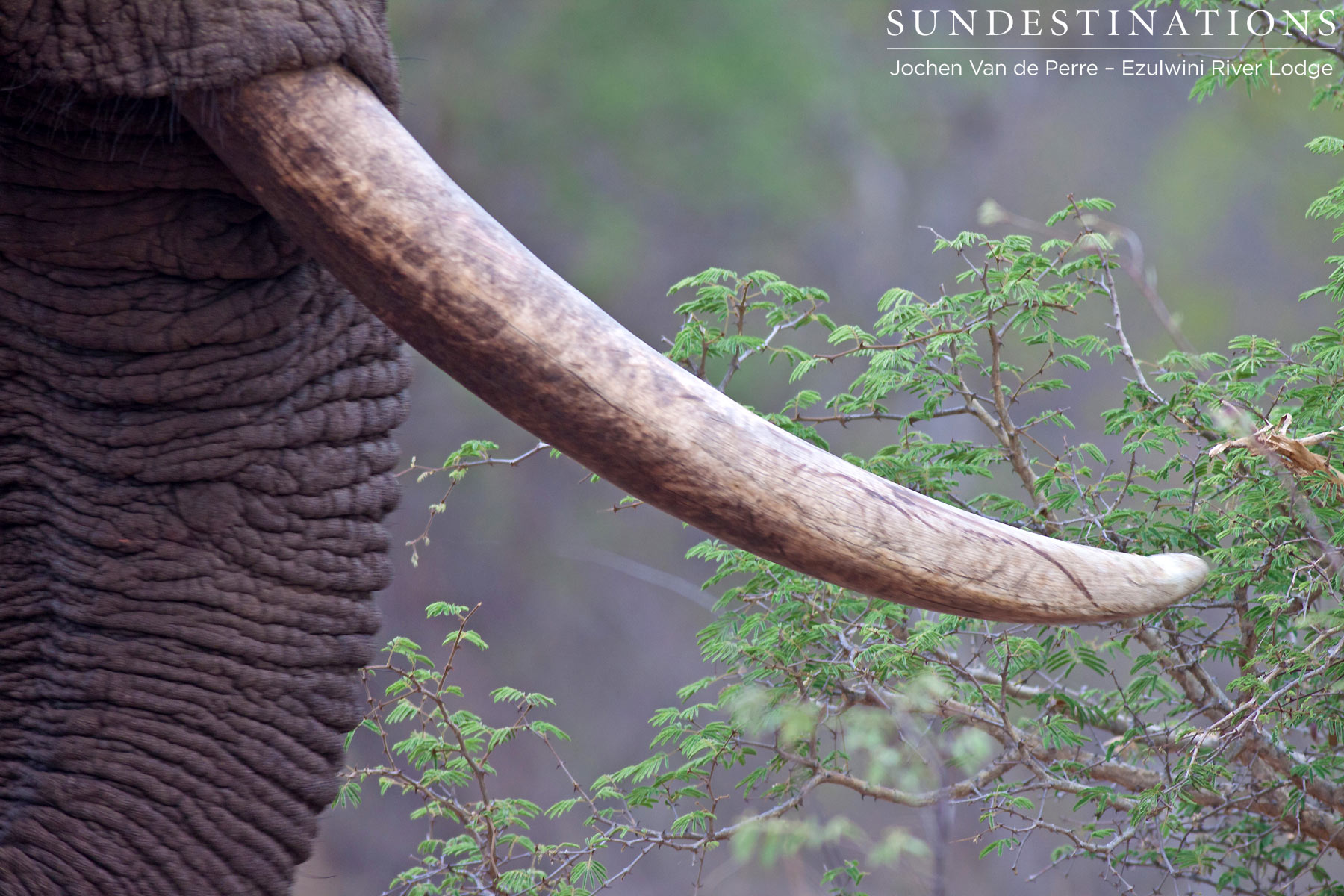 Shoshangaan the Tusker Dies of Natural Causes