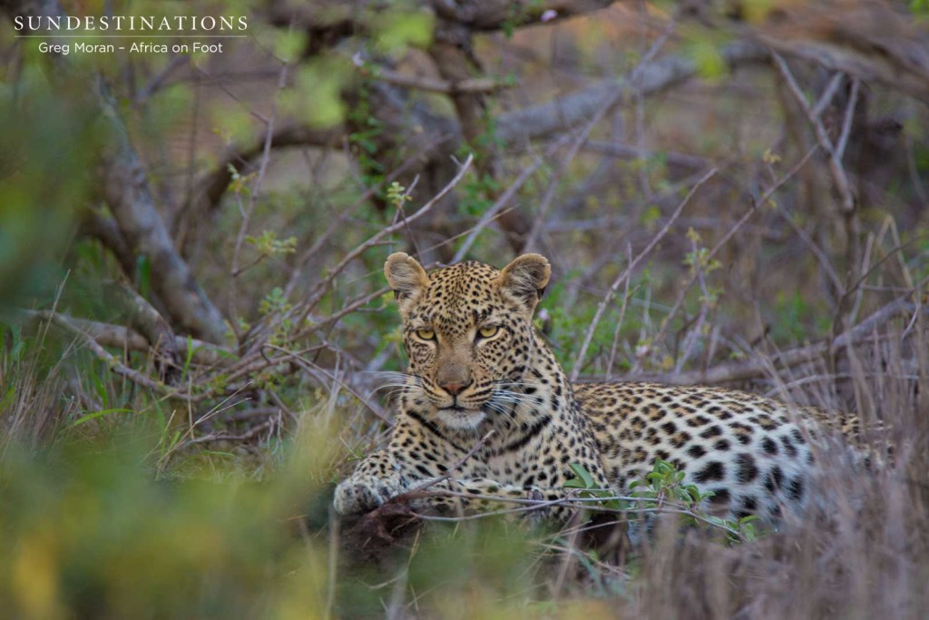 Marula Mafasi gazes coyly at us as we watch her relax after feasting on a kill.