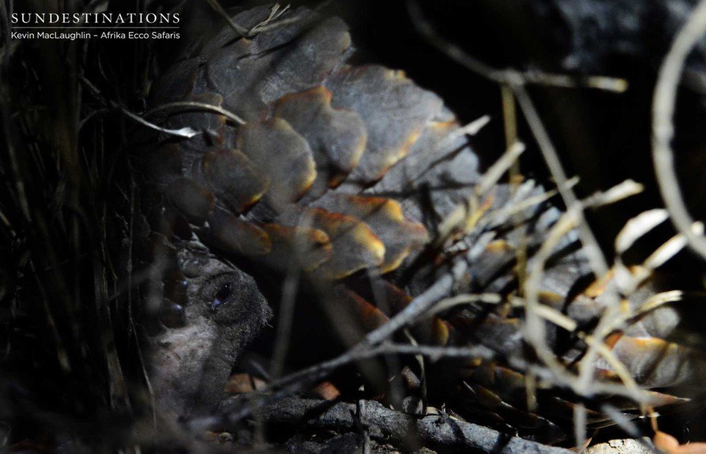 The shy face of the tragically trafficked pangolin