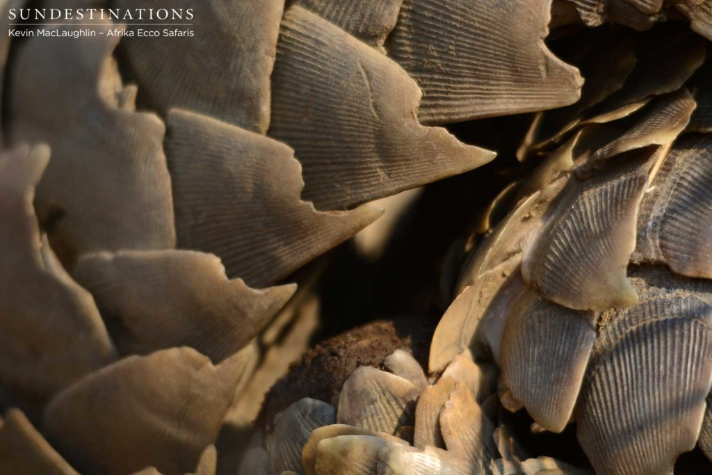 Precious pangolin scales harvested beyond measure for false medicinal value. These scales are nothing more than keratin.