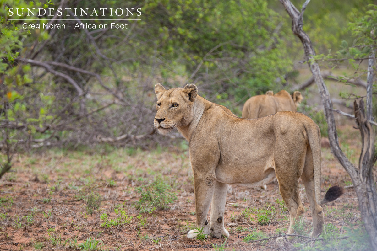 Guests on Walk Spot Ross Pride Breakaway Lionesses