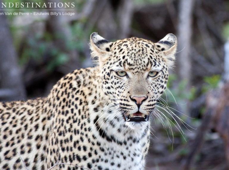Van Wijk's Leopardess: Princess of Ezulwini