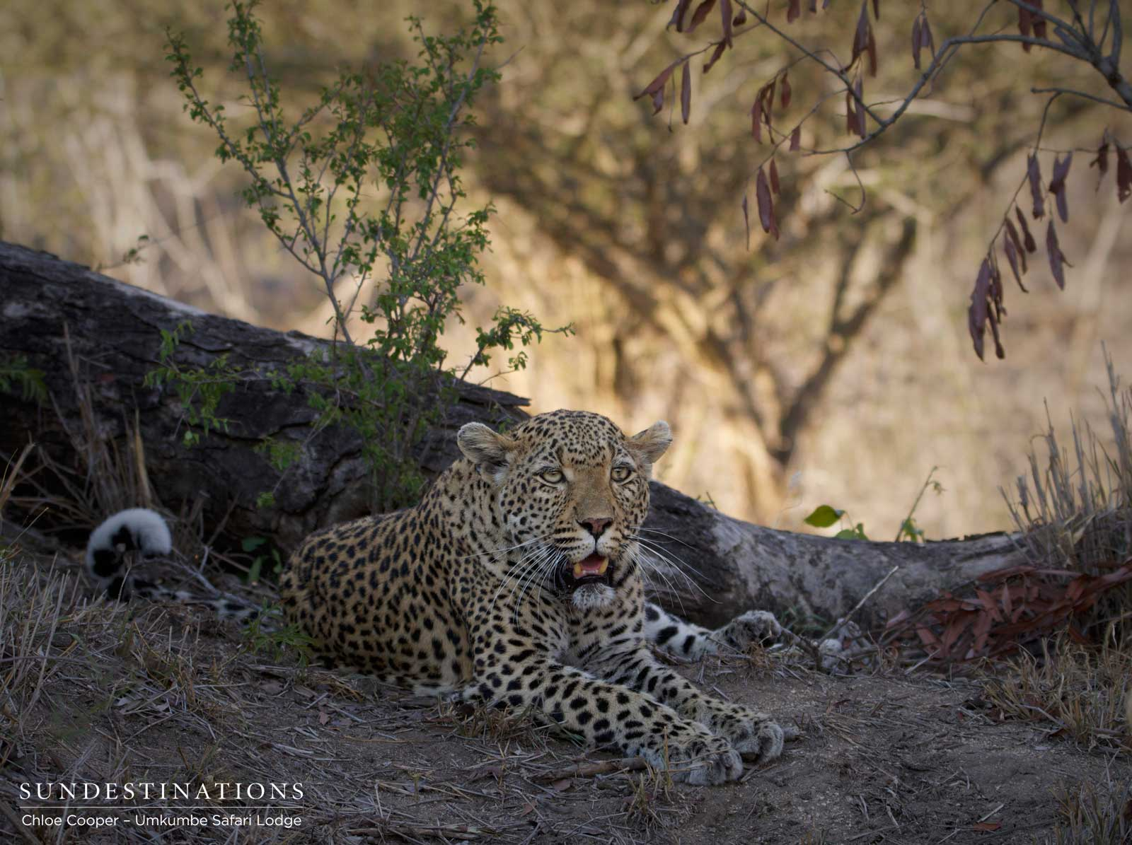 Leopardess White Dam & Cub on a Kill