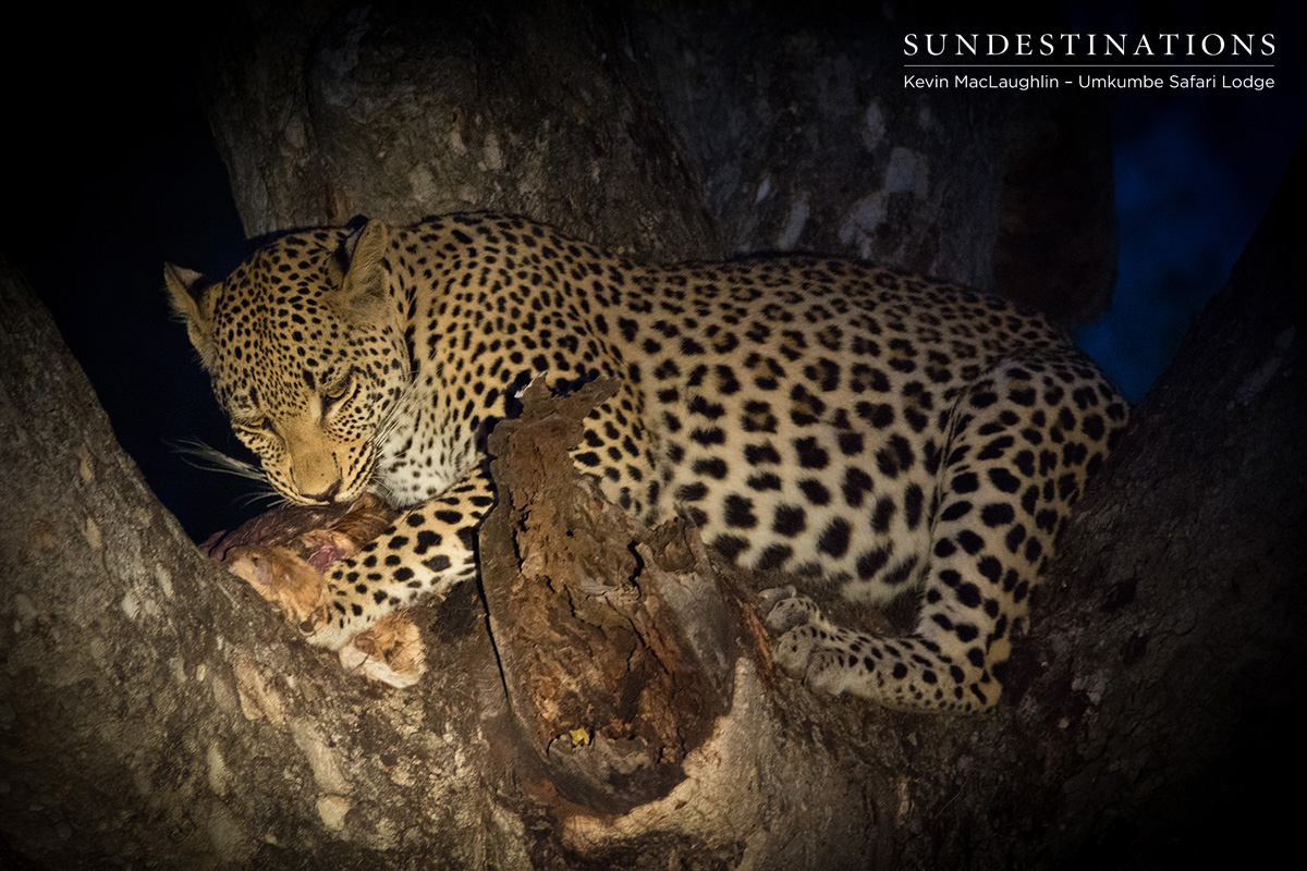 Third Kill for Leopardess White Dam & Cub