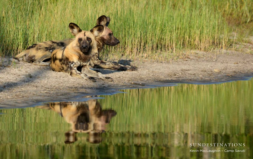 The endangered African wild dogs take a rest on the banks of the Savuti Channel