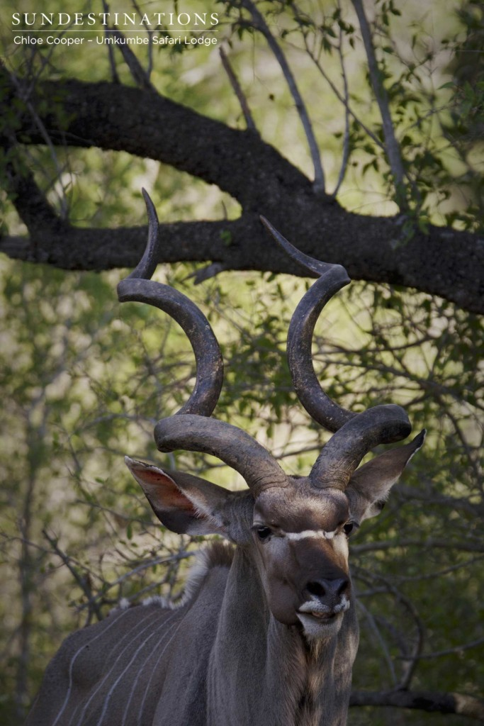 A handsome kudu bull appeared alone out of the dense thicket, offering guests a quick look at his impressive spiralling horns.