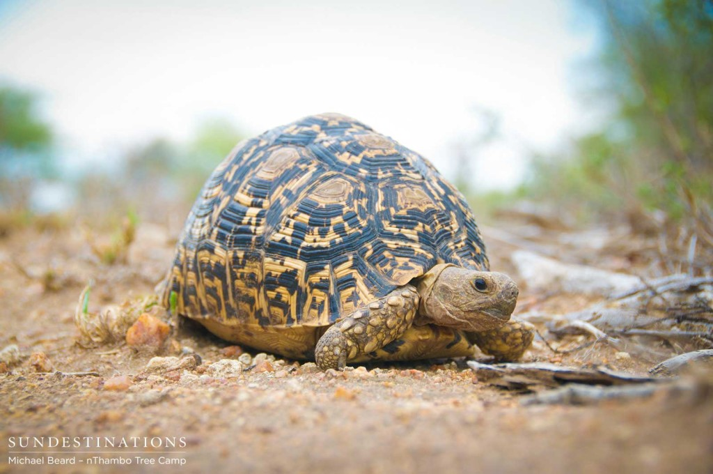 Leopard tortoises are special sightings for wet weather.