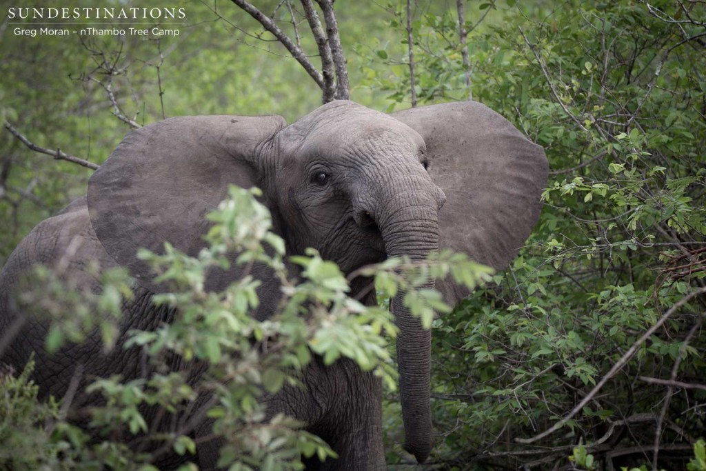 A young elephant glances curiously over the burgeoning bush