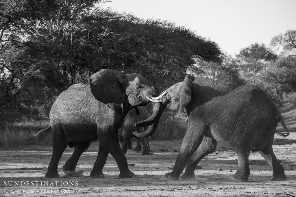 Bull elephants can't contain their excited emotions and engage in play fighting