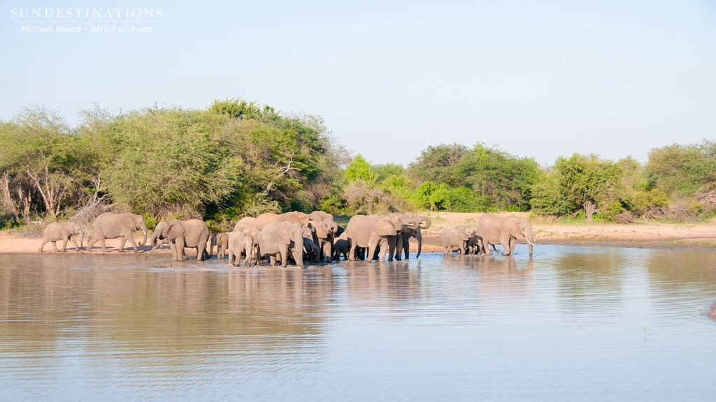 Herd of elephants gathers at the water's edge to drink