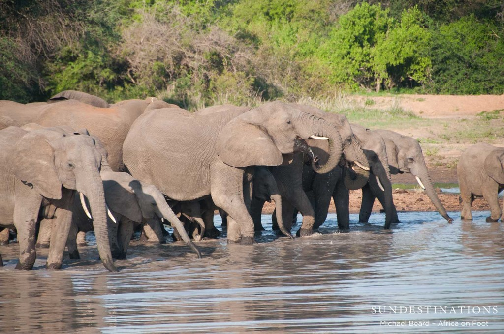 Elephants getting excited to have so much water after the rains