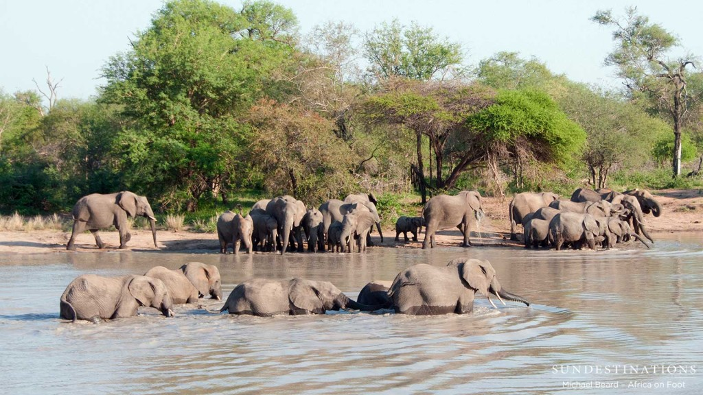 Elephants get right in to cross the water
