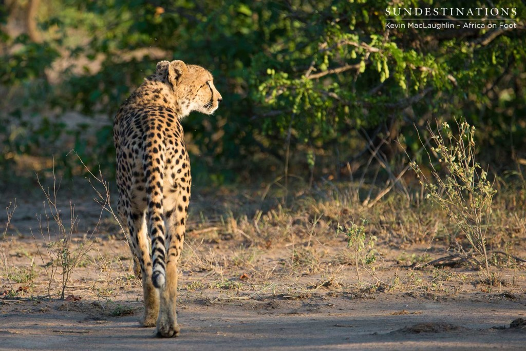 Female cheetah walking in the  morning sun