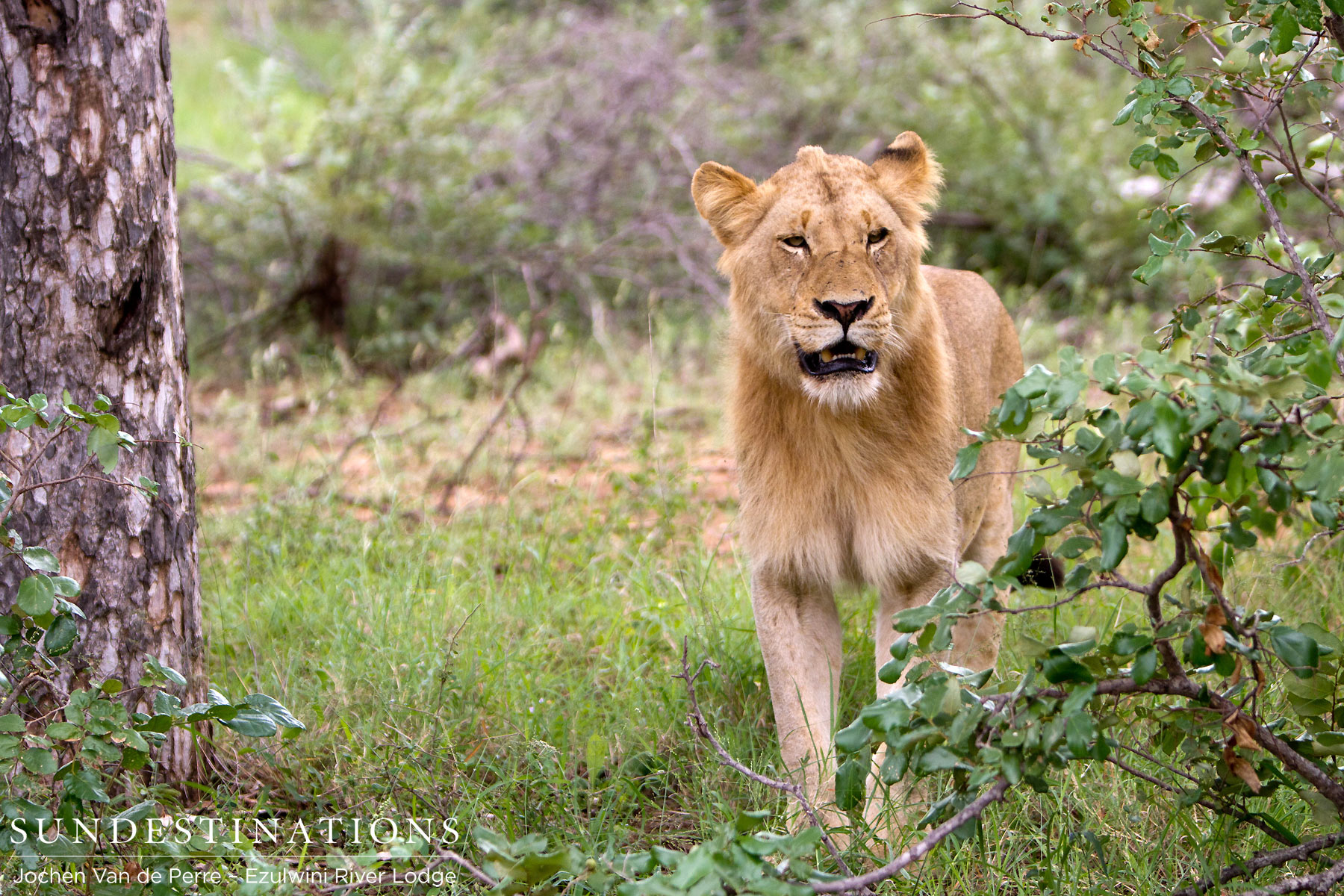 Know Before You Go : 3 Facts About Lions at Ezulwini