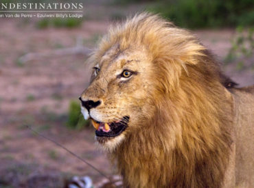 """So you've booked your safariat Ezulwini Game Lodges and you've decided that lions are a definite """"must see"""" while in Africa. Being the ultimate super-predator, seeing a pride ofPanthera leo in the wild is a memory that remains etched in your mindlong after your safari is over. Before departing for the ultimate safari in the […]"""