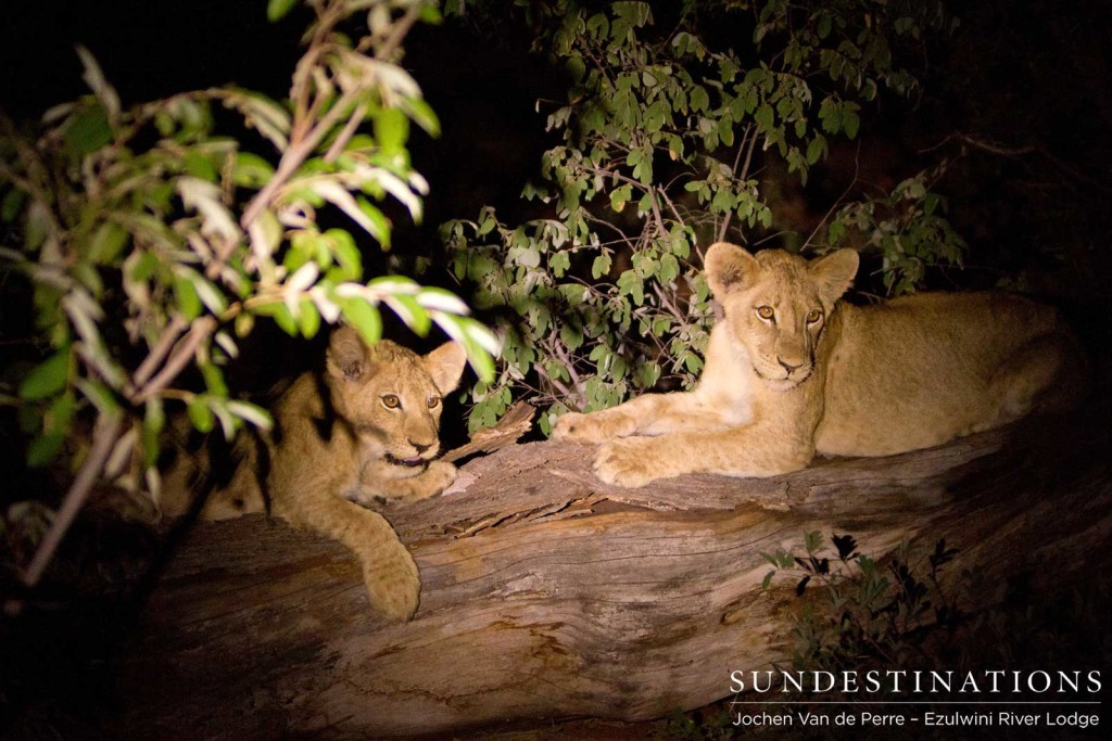 Two of the 4 cubs seen with 3 Mohlabetsi lionesses