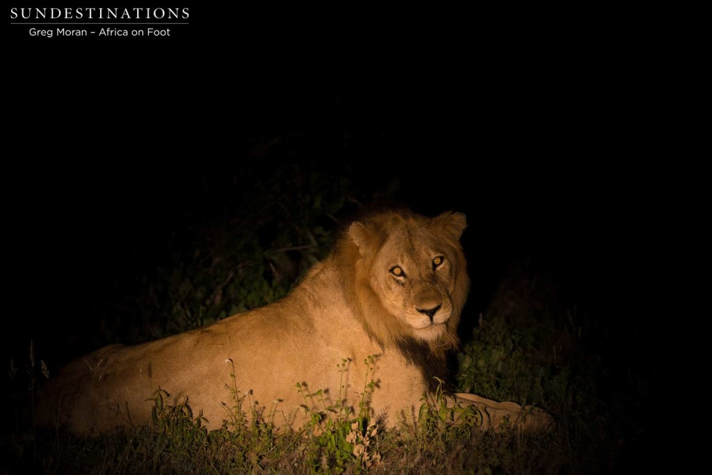 An unknown young male lion found slinking through the Klaserie