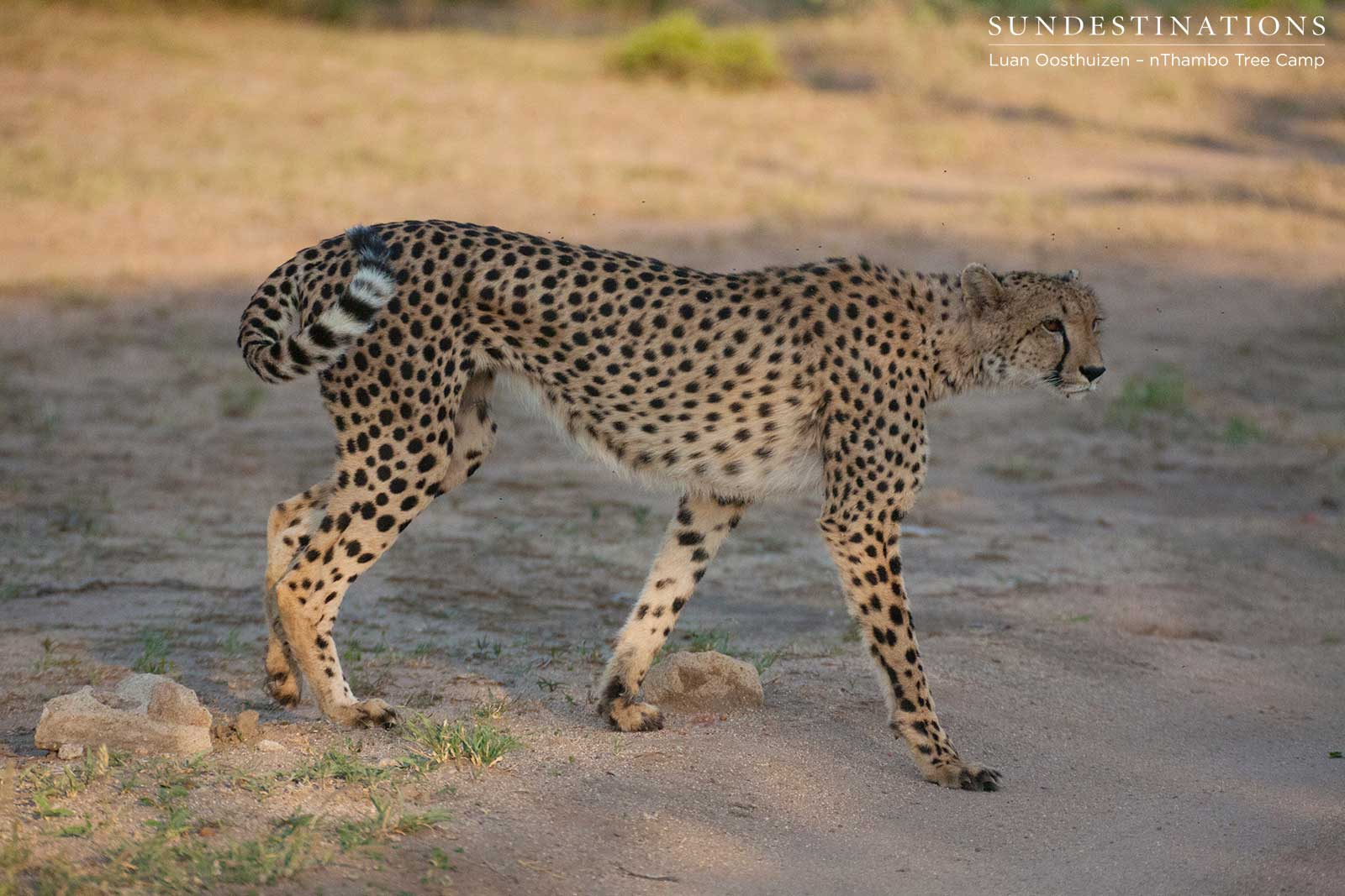 Check out the Cheetah! Game Drive Winner in Klaserie