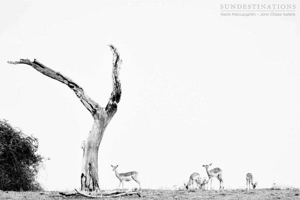 Grazing impala dwarfed by a deceased leadwood tree