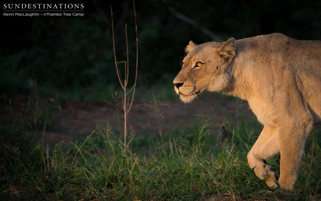 A Giraffe Pride lioness stalks the sun in the Klaserie sunrise