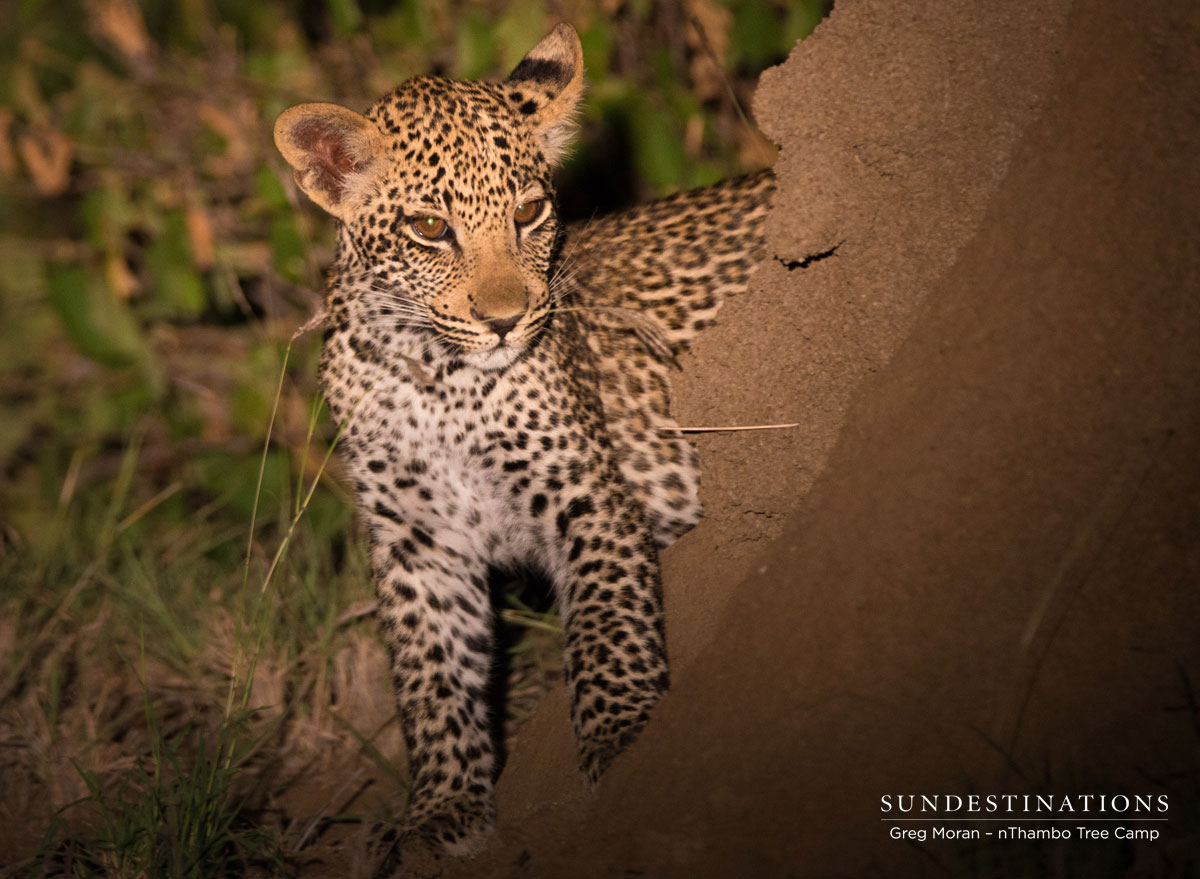 Leopard Cubs nThambo