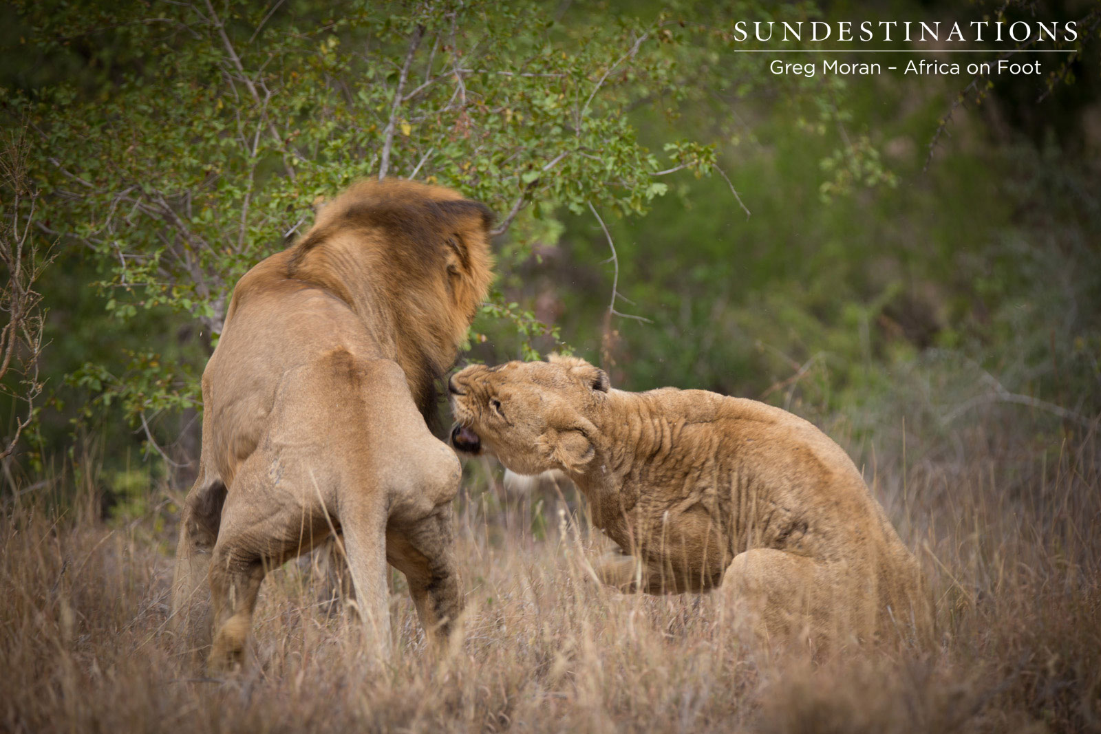 Update: Male Lion Mabande Mates with the Ross Lionesses!
