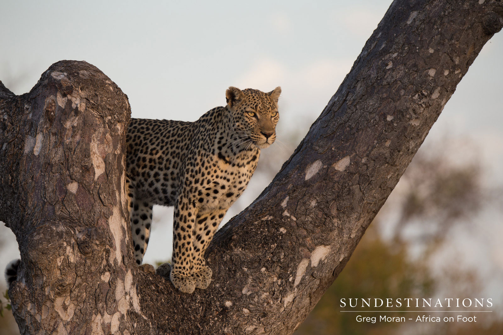 Astounded by Our Daily Leopard Sightings at Klaserie Camps