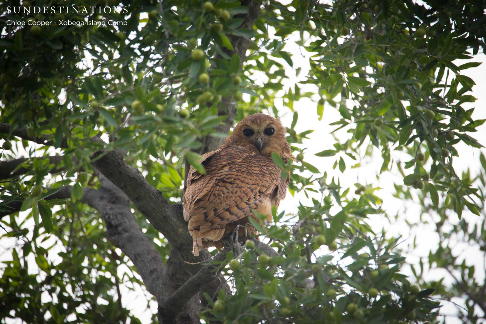 Pel's Fishing Owl Nesting at Xobega Island Camp