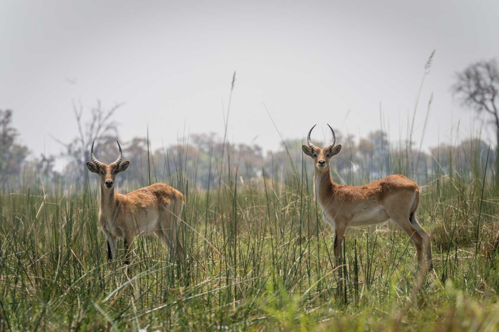 A pair of red lechwe gaze back at their audience from the Delta reed beds